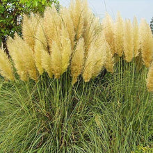Load image into Gallery viewer, 200PCS Pampas Grass Seeds Patio and Garden Potted Ornamental Plants New Flowers Cortaderia Grass Seed