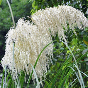 200PCS Pampas Grass Seeds Patio and Garden Potted Ornamental Plants New Flowers Cortaderia Grass Seed