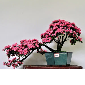 10 Pcs/Pack Azalea Flower Seed Mountain Rhododendron Green Plants Bonsai Four Season Planting