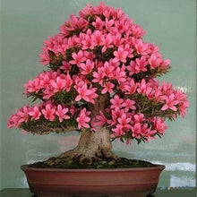 Load image into Gallery viewer, 10 Pcs/Pack Azalea Flower Seed Mountain Rhododendron Green Plants Bonsai Four Season Planting