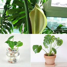 Load image into Gallery viewer, 10Pcs Garden Balcony Decoration Beautiful Bonsai Plants Monstera Seeds