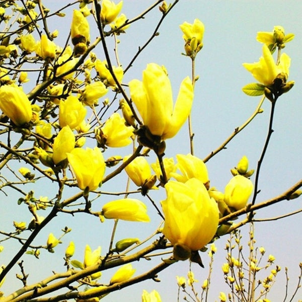 20 Pcs Magnolia Denudata Seeds Yellow Magnolia Yulan Flower Seeds for Wedding Party Perennial Fragrant Orchid Home Garden Plant Seed Garden Decor