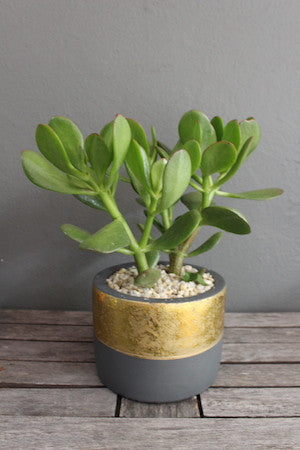 Potted succulent ceramic metallic rimmed pot