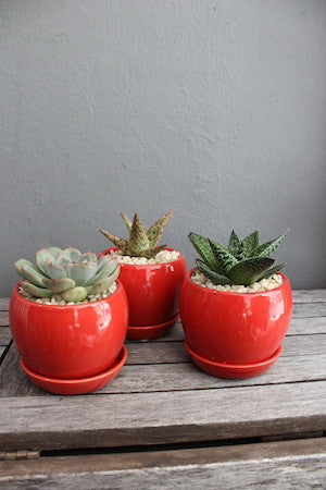 Potted succulent red pot
