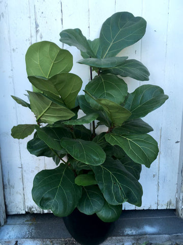 Fiddle Leaf - Large