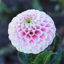 Load image into Gallery viewer, Dahlia Wizard of Oz