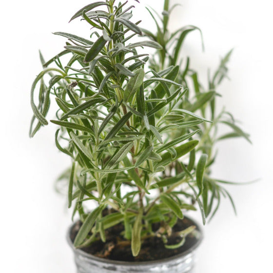 Thyme (per pack)