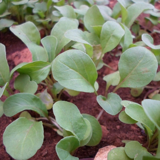 Rucola (Foreign) (per pack)