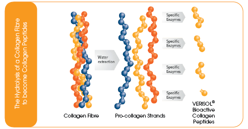 The process of collagen hydrolysis