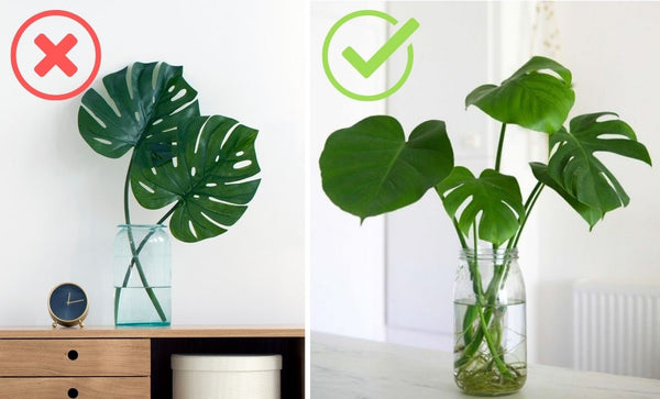 plante verte monstera bouturage comment faire