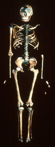Lab image of the reconstructed Turkana Boy skeleton.