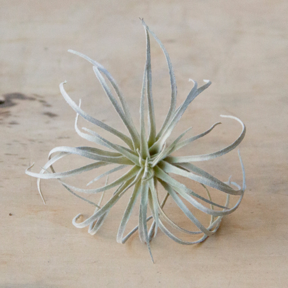 Chive Air Plant, Small