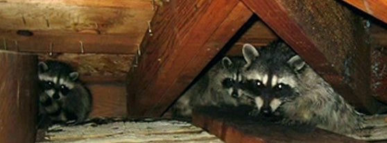 Embers Out Fire Protection Vents Prevent Racoon Infestation