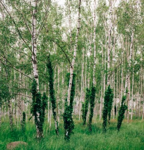 A birch forest in the Baltic region
