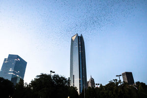Purple Martins over Oklahoma City