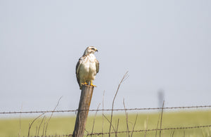 Krider's Red Tail Hawk