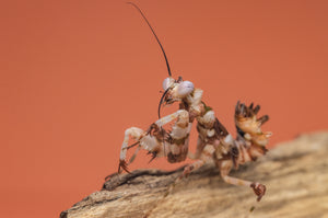Juvenile Asian Spiny mantis