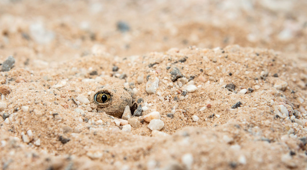 Plains Spade Foot Toad