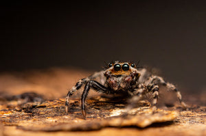 Tan Wall Jumping Spider