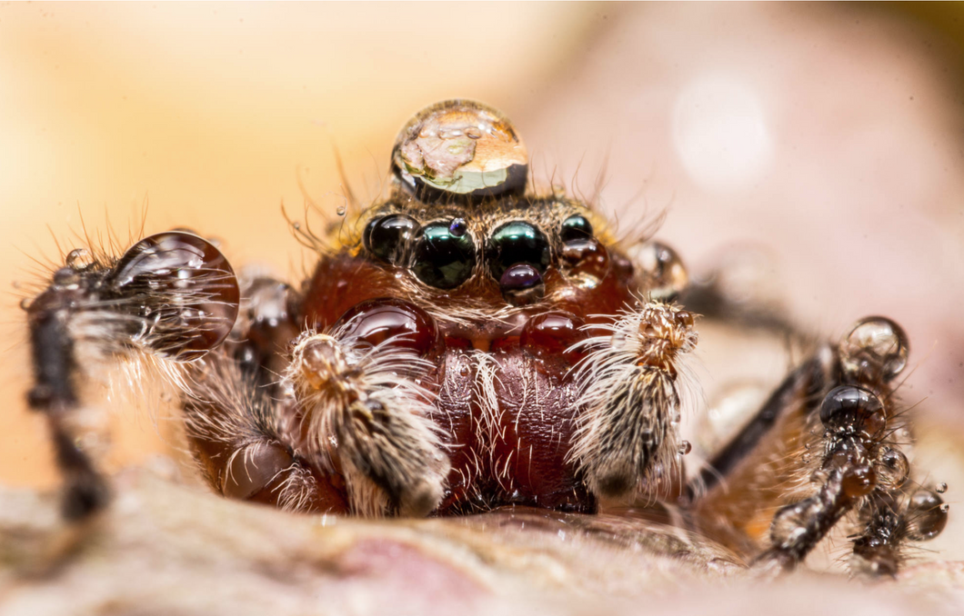 Jumping Spiders of Oklahoma