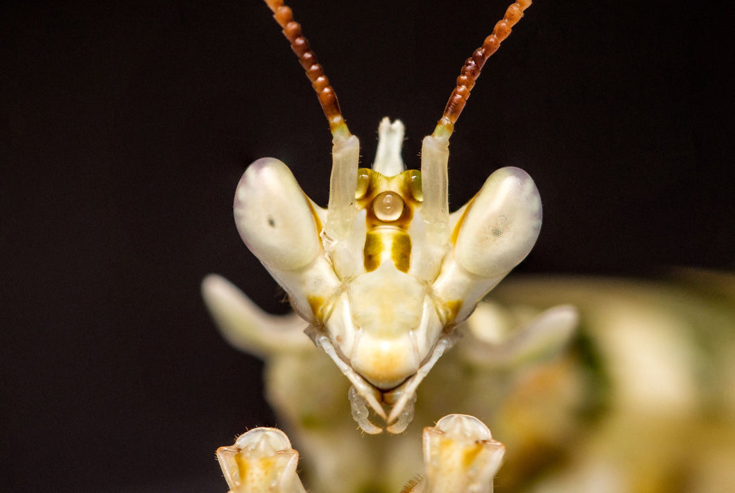 Asian Spiny Mantis