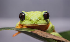 Black Eyed Tree Frog