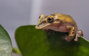 Casque-Headed Tree Frog