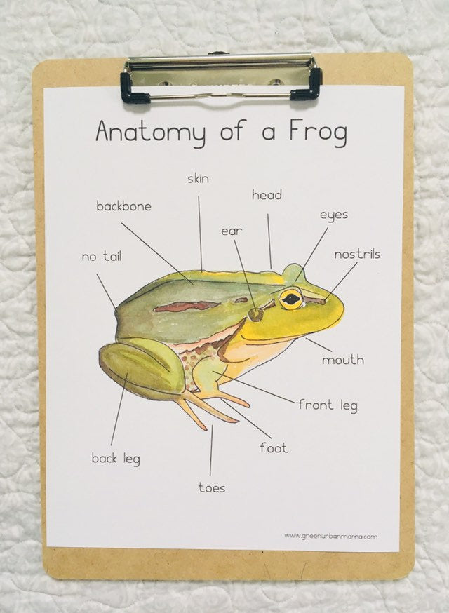 Frog Anatomy Poster
