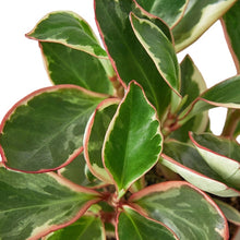 Load image into Gallery viewer, Peperomia Ginny