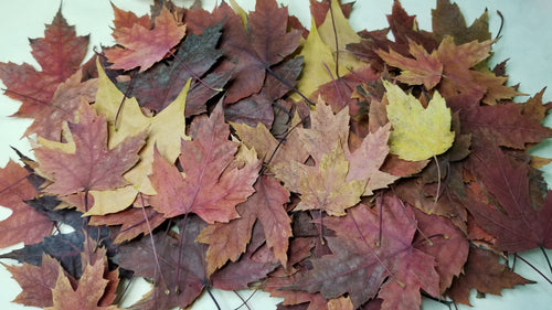 20 Real Autumn Leaf, Dried Pressed Leaves, Pressed Autumn Leaf , Dry maple leaves