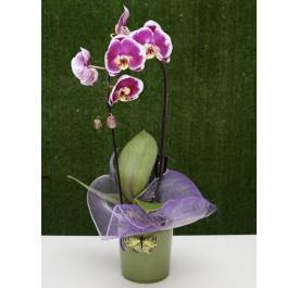 Two Toned Orchid Plant - House Plants by Purple Rose Florist