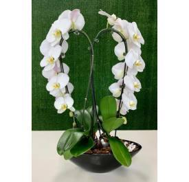 Stunning Orchid Heart - House Plants by Purple Rose Florist