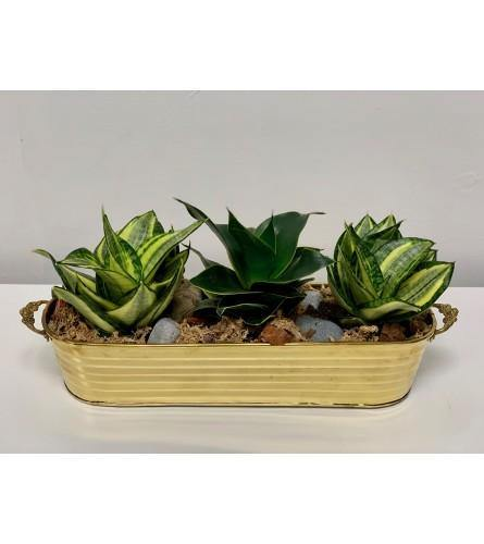 Snake Plant Trio in Brass Basket