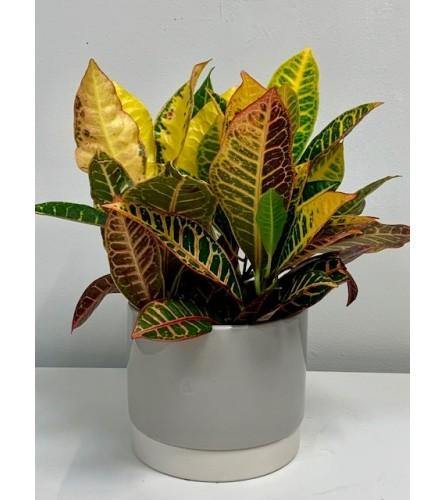 Fresh Green Spring Croton Plant in Grey Ceramic Pot