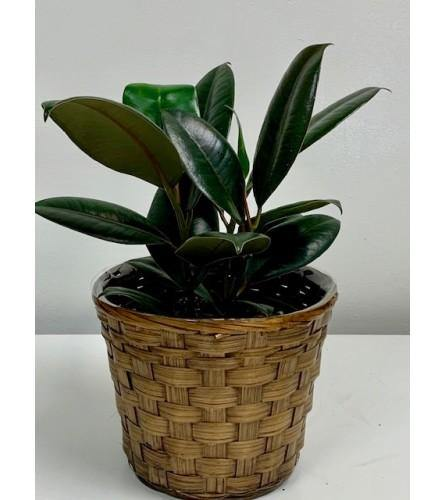 Vibrant Palm Rubber Plant in Brown Wicker Basket