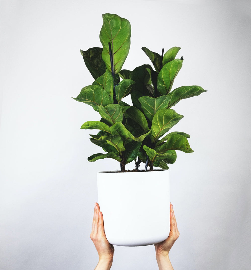Two hands holding a Fiddle Leaf Fig also called Ficus Lyrata in a white pot up high above the persons head