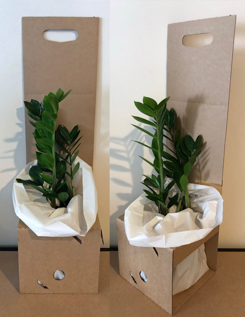 ZZ plant in box insert to keep plants upright during transport