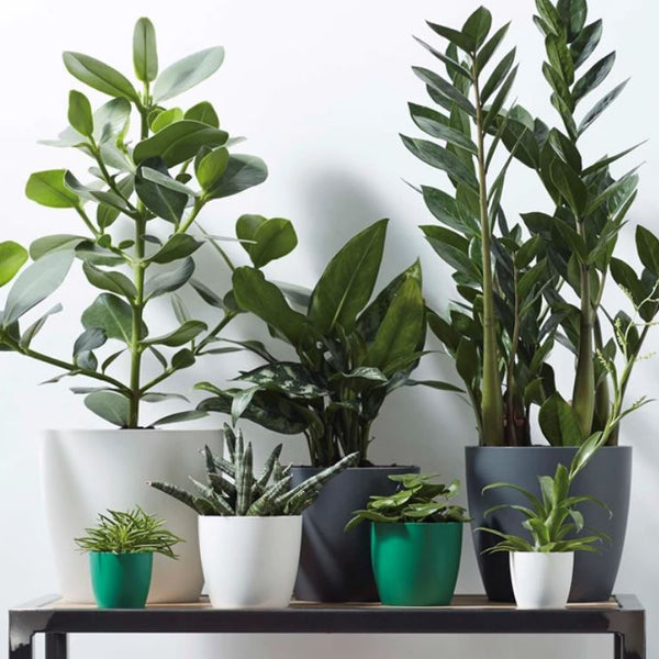 collection of indoor houseplants in elho brand cover pots lined up on a table including a zz plant