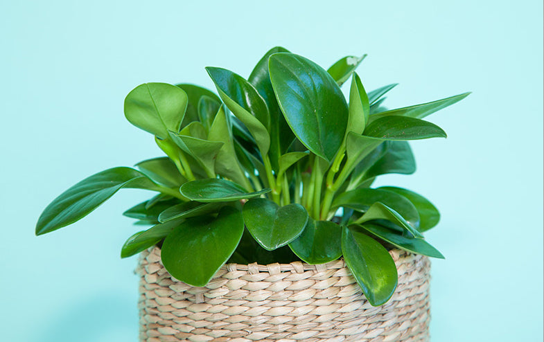 Plant with small glossy green leaves in a woven basket