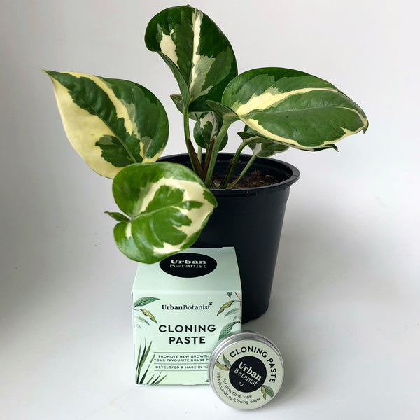 Urban Botanist cloning paste box and tin in front of a Pothos N'Joy potted plant