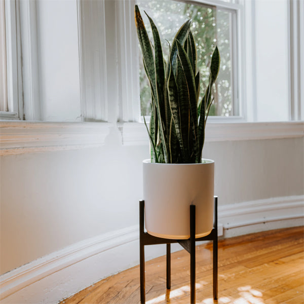Snake Plant in a white pot on a plant stand sitting on a shiny wooden floow in a room with white walls and bright light coming in large windows