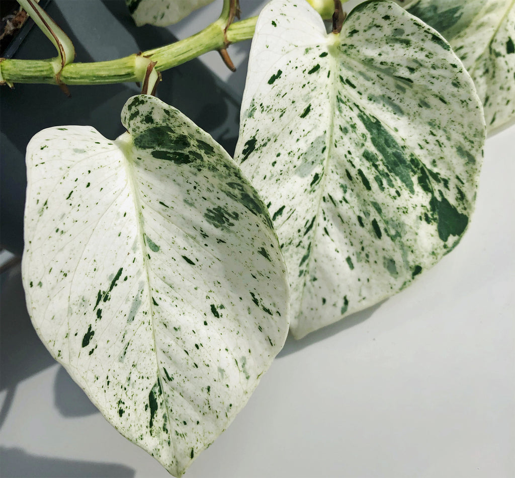 snow queen marble queen with extra white leaves ltl nz