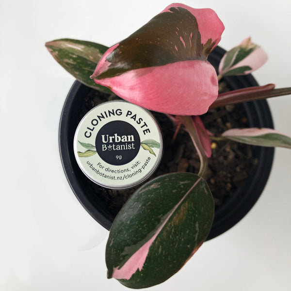 urban botanist cloning paste nz with philodendron pin princess plant