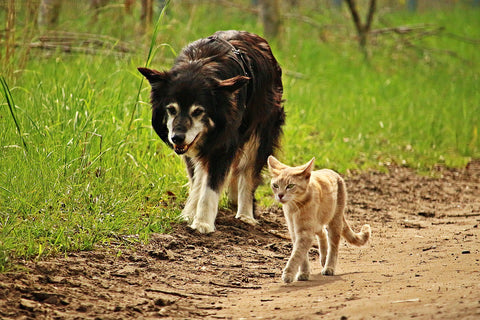 Cat and dog going for a walk along grass