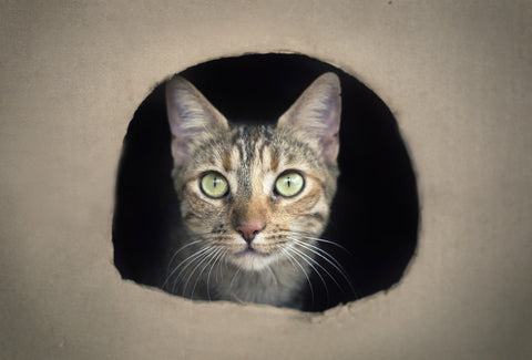 Cat inside a box, looking straight out.