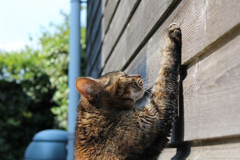 Cat scratching the siding of a house