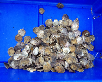 The Native Oyster - Ostrea edulis