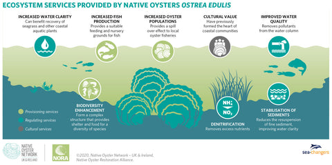 Native Oyster Benefits