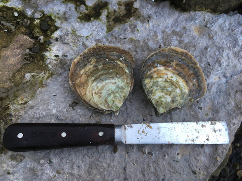Native Oysters Cleaned