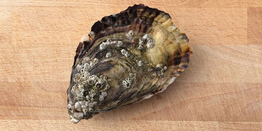 High Quality Oysters for Sale